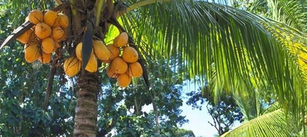 кокосовое дерево фото